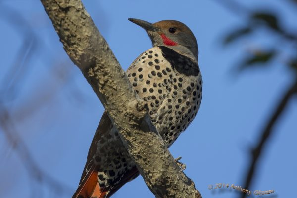Northern Flicker red-shafted