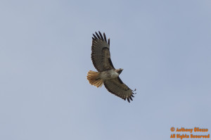 An Adult Red-tailed Hawk (California) in Flight