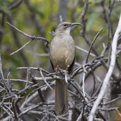 California Thrasher at Oso Lake.  Image taken on March 22, 2014