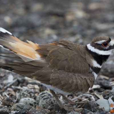 A female Killdeer guards her 4 eggs which were laid amidst the center of a dirt road within the Oso Lake