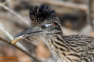 Greater Roadrunner with lizard 13708