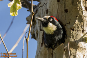 Acorn Woodpecker (male) in tree hollow