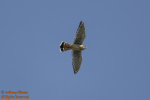 A male American Kestrel soars overhead at the Upper Oso Reservoir in Rancho Santa Margarita.  Photo taken on 4-19-14