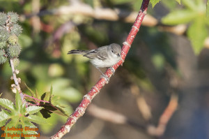 (Least) Bell's Vireo (13894)