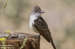 Ash-throated Flycatcher (16647)