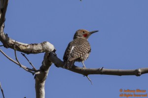 A Northern Flicker (red-shafted)