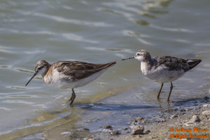 Wilson's Phalaropes - A Female (left) and Male (right) breeding (17736)