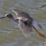 Lesser Yellowlegs in flight (18207)