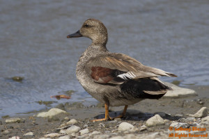 Gadwall (male breeding)