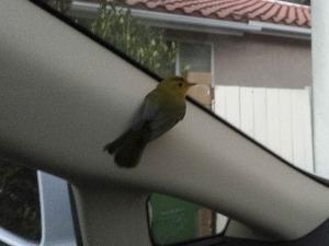 Wilson's Warbler (female) rescued