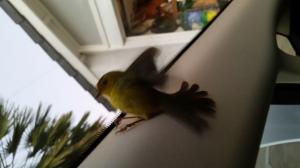 20140922_185938 female Wilson's Warbler