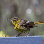 A Molting Hooded Oriole forages at Treasure Island Park on Sept 4, 2014