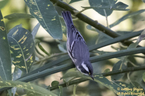 Black-throated Gray Warbler (18348)