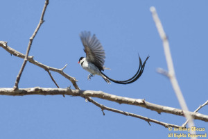 Pin-tailed Whydah (male) 18633)