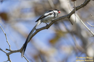 Pin-tailed Whydah (male) 18659)