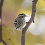 Black-and-white Warbler (18694)