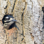 Nuttall's Woodpecker in tree hole (18760)
