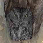 Western-screech Owl (10274)