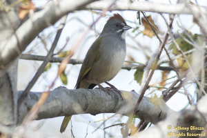 Green-tailed Towhee (12143)