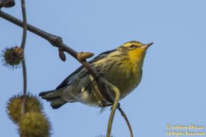 Blackburnian Warbler (18851)