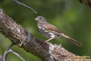Fox Sparrow (Sooty) (19142)