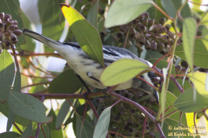Black-throated Gray Warbler (19161)