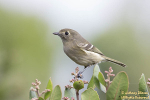 Hutton's Vireo - photo taken at these GPS coordinates:  33.6432, -117.6476
