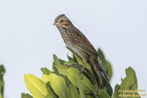 Lincoln's Sparrow (19219)