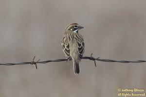 Lark Sparrow (19226)