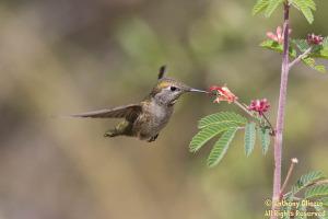 Anna's Hummingbird (19234)