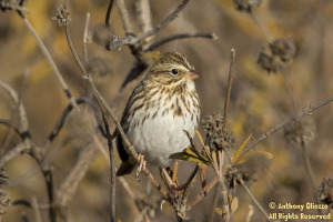 Savannah Sparrow (19297)