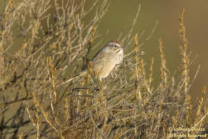 Rufous-crowned Sparrow (19306)