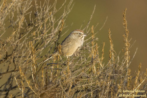Rufous-crowned Sparrow (19310)