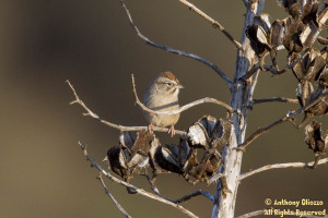 Rufous-crowned Sparrow (19316)