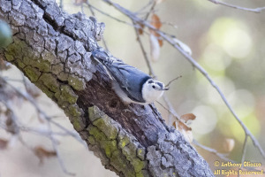 A White-breasted Nuthatch scales the bark of a pine tree at Seville Park
