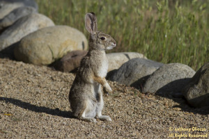 White-tailed Rabbit at the Butterfly Garden - Photo taken at Riley Wilderness Park in Coto De Caza, CA on March 12, 2012