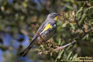 Yellow-rumped Warbler - Photo taken at Riley Wilderness Park in Coto De Caza, CA on March 12, 2012
