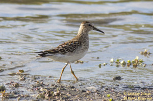 A Pectoral Sandpiper at the Oso Reservoir