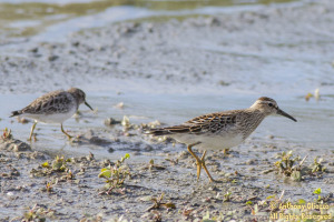 Two Pectoral Sandpipers had just flown in with a small group of Least Sandpipers