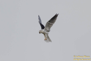 This White-tailed Kite flew, hovered and landed numerous times over the course of an hour about 100 yards from the shoreline.