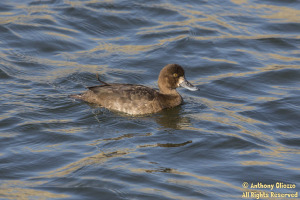 Lesser Scaup (female) (20078)