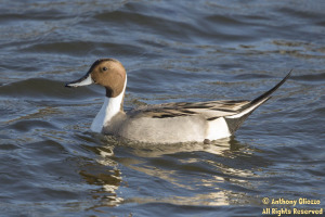 Northern Pintail (breeding male) (20117)