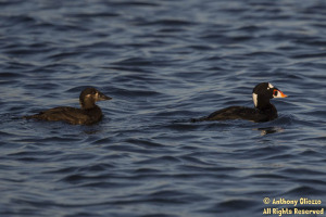 Surf Scoters (male and female) (20185)