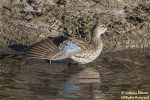 Blue-winged Teal (female) (20298)
