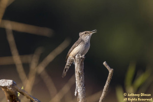 An  amiable Rock Wren perches up high to vocalize.