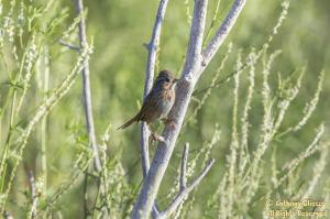 Lincoln's Sparrow (20420)