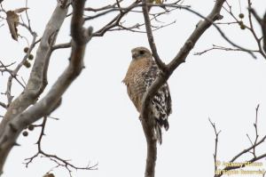 Red-shouldered Hawk (adult) (20812)