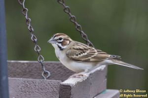 Lark Sparrow (20824)