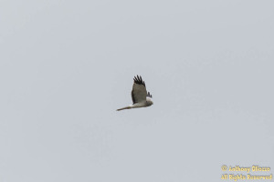 Northern Harrier (Male aka Gray Ghost) (20903)