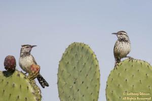 Cactus Wrens (21342)